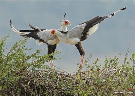 courtship display of the secretarybird bird ecology