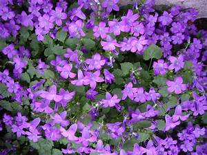 Campanula Portenschlagiana Purple Flowering Groundcover ...