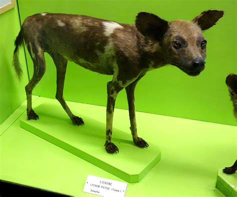 Somali wild dog - Wikipedia