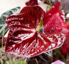 Anthurie Im Wasser : die 17 besten bilder von stylishe anthurien deko ideen floral arrangement floral design und ~ Yasmunasinghe.com Haus und Dekorationen