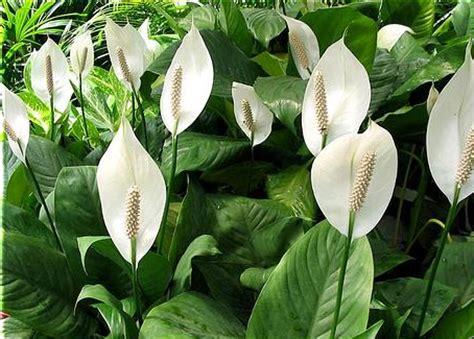 teknik budidaya tanaman hias spathiphyllum sentra pertanian