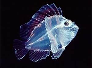 神秘的な海の世界…透明な不思議生物たち らばQ