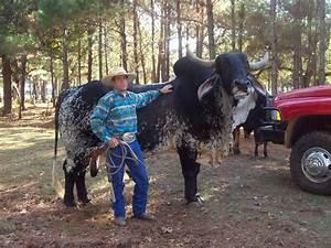 File:Brahman cattle SB051.jpg - Wikimedia Commons