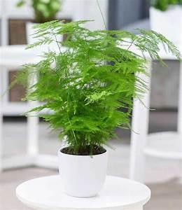 Büro Pflanzen Pflegeleicht : asparagus plumosa 1a zimmerpflanzen baldur garten ~ Michelbontemps.com Haus und Dekorationen