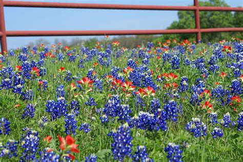 visitors bureau 15 amazing things you should about bluebonnets