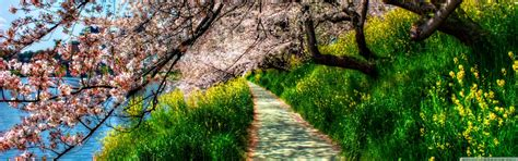 cherry blossom tunnel  hd desktop wallpaper   ultra