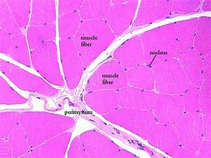 CH 09 Skeletal Muscle Cell = Fiber Histology