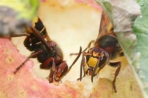 Was Essen Wespen : die hornisse nabu ~ Frokenaadalensverden.com Haus und Dekorationen