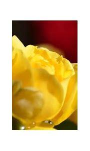 golden beauty by Vinod Santhanam / 500px | Rose, Beauty ...