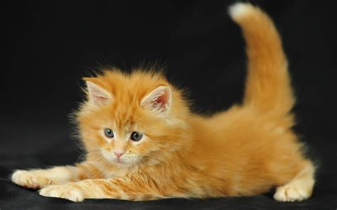 Ginger Kitten Wallpapers And Images Wallpapers Pictures