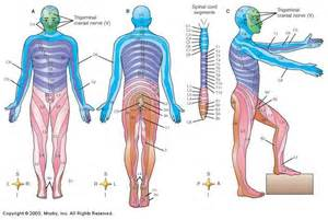 Spinal Cord Dermatomes Map