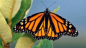 Monarch Butterfly Studies Tell A Perplexing Tale