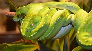 Green Tree Python In The Queensland Museum Full HD ...