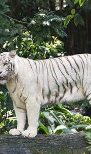 White Bengal Tiger Balancing Stock Photo - Image of exotic ...