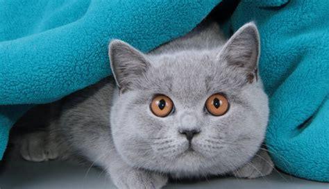 Britānijas īsspalvainais kaķis