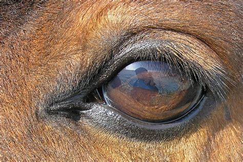 equine vision eye horse eyes horses animal animals brown land mammal facts any head eyesight dark largest eyed does close