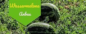 Wassermelone Anbau Balkon : wassermelone alles ber anbau und pflege 2019 ~ Watch28wear.com Haus und Dekorationen