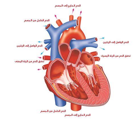 كيفية و آلية عمل القلب البشري - قلبك