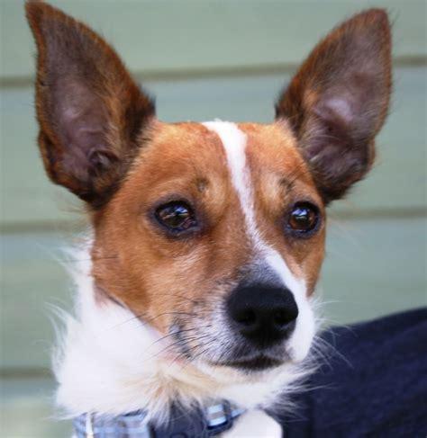 adopt petey  rat terriers terrier mix  rats