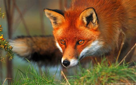 High Definition Animal Wallpapers - fox wallpapers high definition animal wallpapers