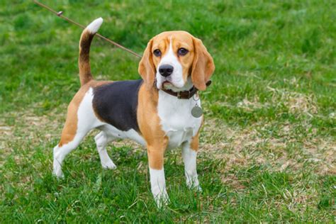 List Of Dogs That Shed Very Little by 12 Best Small Dog Breeds For Families With Children