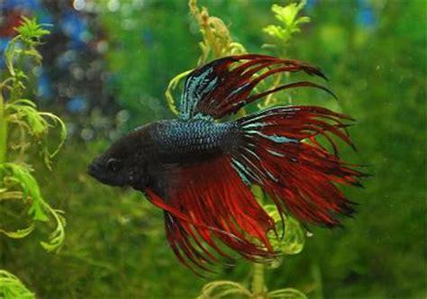 freshwater aquarium fish varieties aquarium freshwater tropical fish species for planted