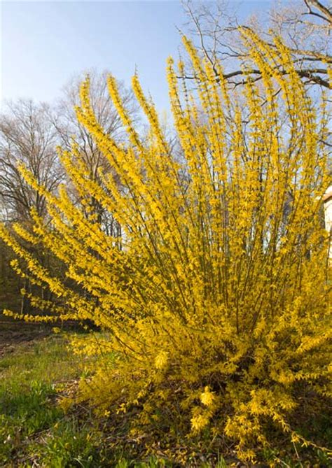 What's all the fuss about forsythia? • Preen