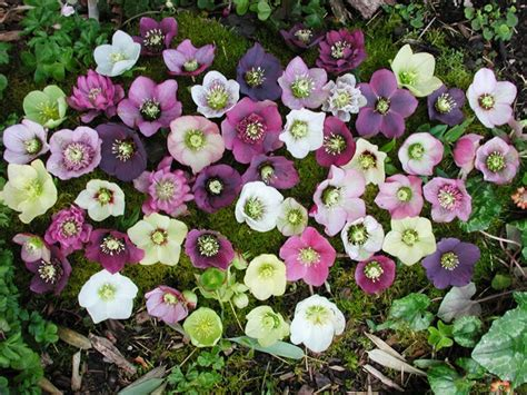how to plant hellebores how to plant and grow hellebores the garden of eaden