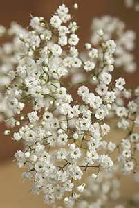 free delivery flowers white gypsophila flowers by post with free uk delivery