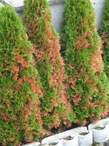 Werden Braune Zypressen Wieder Grün : lebensbaum orientalischer lebensbaum 39 brabant 39 ~ Lizthompson.info Haus und Dekorationen
