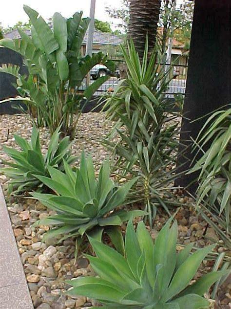 yucca   plants garden supplies