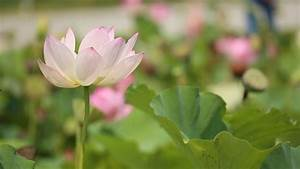 Nature, Dancing, Wind, Flower, Lotus
