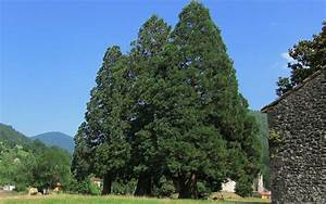 Definition sequoia geant sequoiadendron giganteum for Awesome lire un plan de maison 3 definition sequoia geant sequoiadendron giganteum