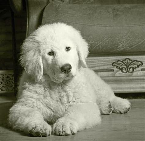 maremma sheepdog dog breed information noahs dogs