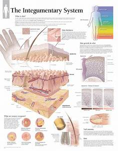 The Integumentary System 2501