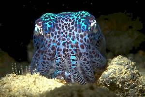 Hawaiian Bobtail Squid  U2013  U0026quot Ocean Treasures U0026quot  Memorial Library