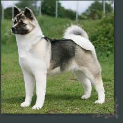 akita dog breed remarkable dogs