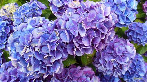 Blauw paarse hortensia bloemen