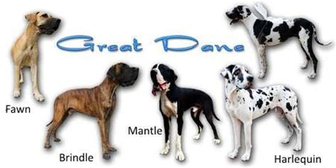 great dane colors the great dane breed expert