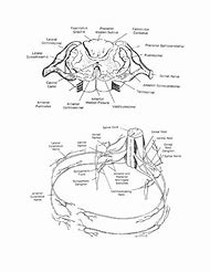 Best 25+ ideas about Spinal Cord Cross Section | Find what you\'ll love