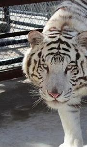 A white tiger named Gus finds new home at In-Sync Exotics ...
