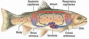 Flashcards - Ichthyology Exam 1