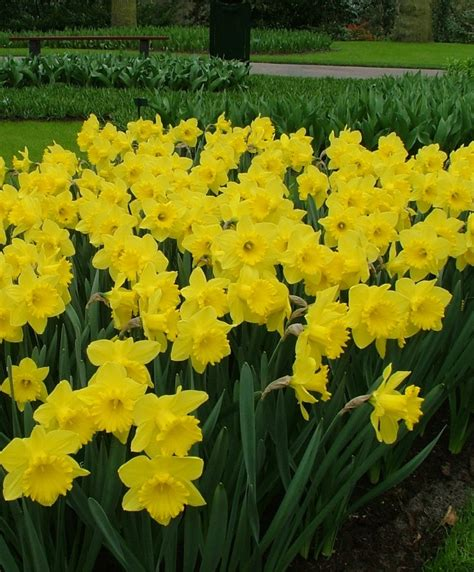 narcissus king alfred dnii narcissi flower bulb index