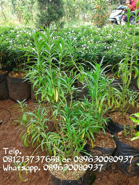 jual tanaman hias pengusir nyamuk pohon lavender murah