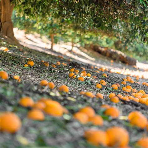 fragrant orange groves  redlands california