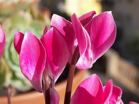 cyclamen cyprus national flower wallpapers