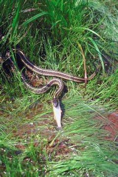 garter snakes shed skin animals momme