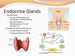 Chapter 45: Hormones and the Endocrine System - ppt video ...