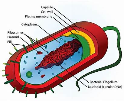 Cell Clip Bacteria Clker Domain Cliparts