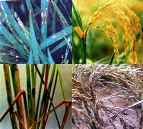 rice blast disease    control  independent